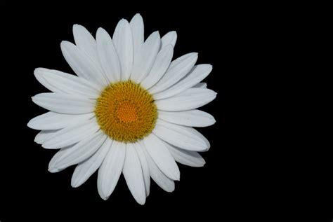 photography  kurt shaffer photographs flowers  black