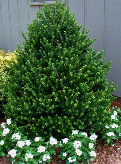 low height shrubs 25 b 228 sta evergreen shrubs id 233 erna p 229 pinterest buskar och blommor tr 228 dg 229 rd