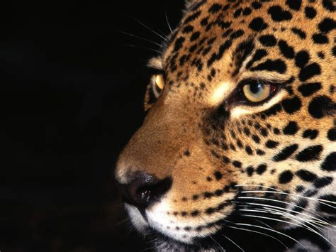 Jaguar Animal Wallpaper - jaguar animal wallpapers 1400x1050 436037