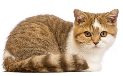 Cat Breeders by Shorthair Breeders Australia Shorthair