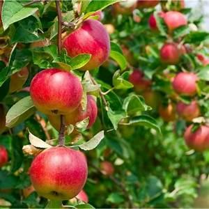 Apple Plant Buy Online India At Cheap Price On Plantsguru Com