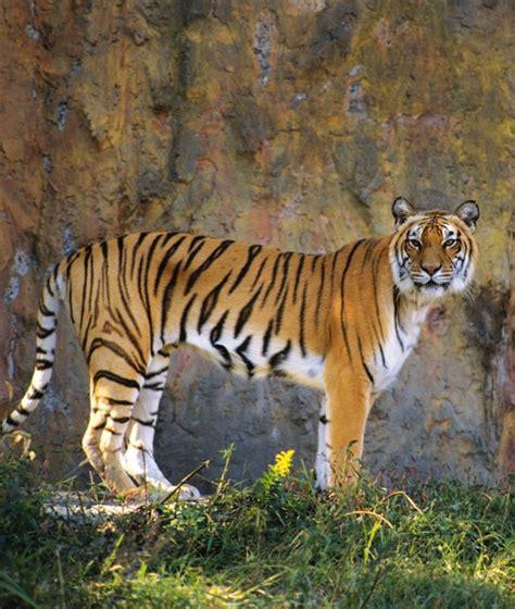 animals  stripes tiger