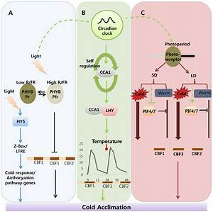 Complex Regulatory Network Of Cold Acclimation  Including