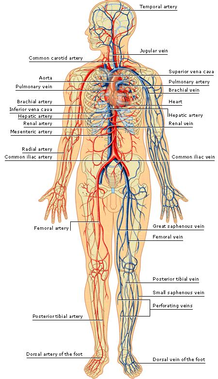 Diagram Of Part Of Human by Arteries And Veins Of The Human Arteries Inside The