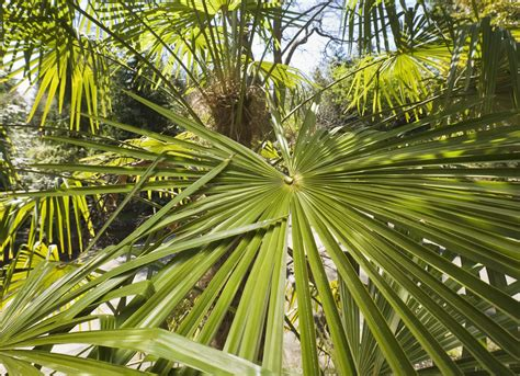 grow windmill palm trachycarpus fortunei