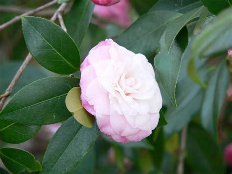 how to prune camellia tree camellia pruning how to prune camellias