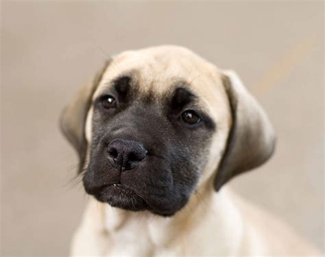 do bullmastiff dogs shed a lot bullmastiff all big breeds