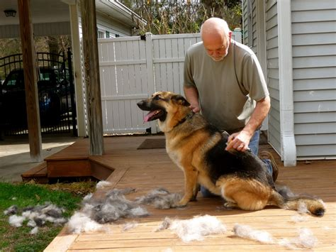 news from the hill do german shepherds shed