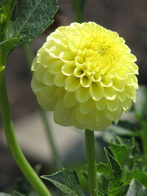 mellow yellow siege social mellow yellow dahlia photograph by