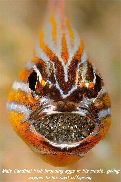 male cardinal fish brooding eggs   mouth giving