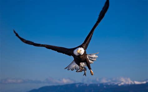 Eagle In Flight Wallpaper Flying Bald Eagle Wallpaper Hd Wallpapers13 Com