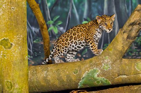 Jaguar Mom Eats Dead Cub, and Zoo Caretakers Can't Explain ...