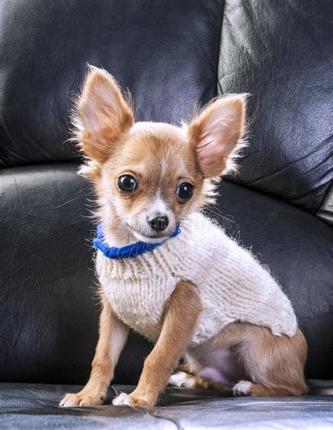 cute chihuahua puppy wearing white sweater stock photo