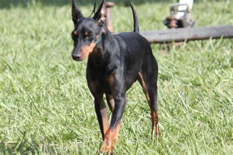 manchester terrier breed information manchester terrier