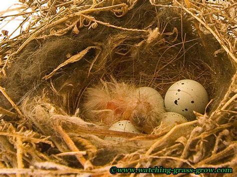 live webcam of house finch bird nest