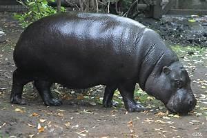 Pygmy Hippopotamus | Choeropsis liberiensis