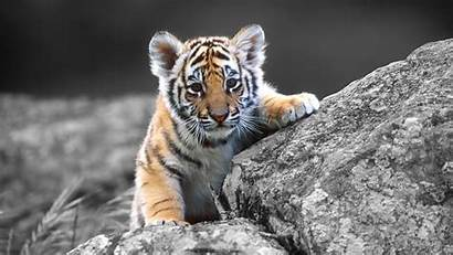 1080p Funny Animal Wallpapers Tiger Cub Definition