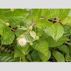 Random Plant Common Buttonbush  The Life Of Your Time