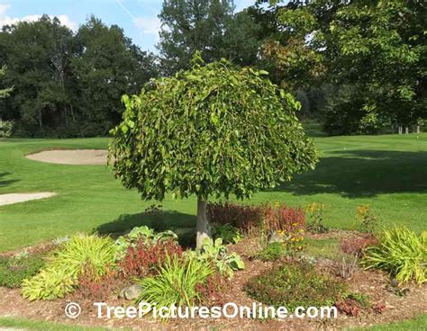 mullberry trees mulberry tree pictures images photos of mulberry trees