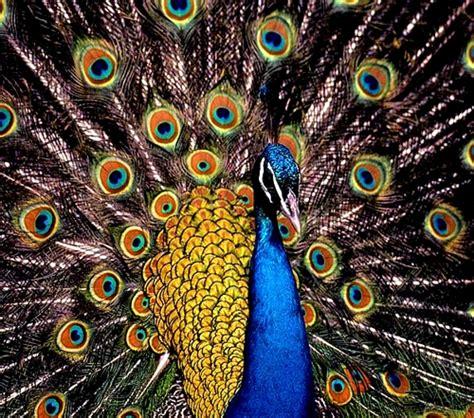 peacock bird ground bird the peacock birds