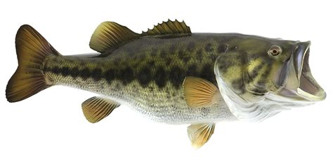Images Of Bass Fish Best Summer Bass Lures Of All Time Tips And Tricks