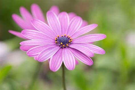 Apstādījumu puķes   Koppert