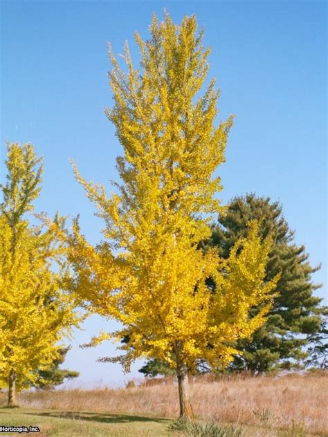 ginkgo biloba varieties ginkgo trees are ideal for fall color hgtv