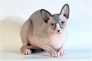 no hair cat unfold interesting sphynx cat facts