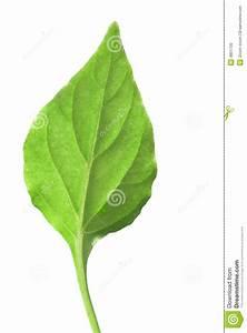 Single Green Leaf Stock Photo - Image: 4851730