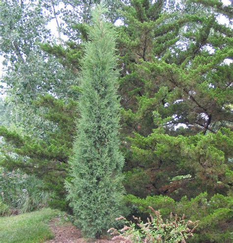taylor juniper tree tlc garden centers