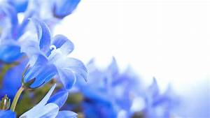 Flowers On A White Background, Dark Blue Hand Bells And ...