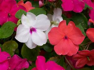 Impatiens: How to Plant, Grow, and Care for Impatiens ...