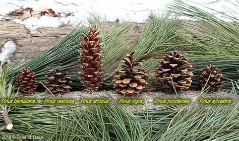 pinus strobus white pine minnesota wildflowers