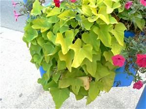 Patate Douce Plante : patate douce une plante au feuillage tr s d coratif ~ Dode.kayakingforconservation.com Idées de Décoration