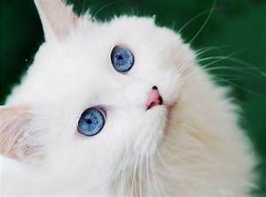 The Truth About White Cats With Blue Eyes | Life With Cats