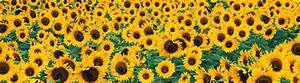 Photo Collection Sunflower Tumblr Background Sunflowers