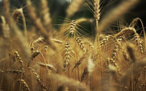 wheat macro - HD Desktop Wallpapers   4k HD