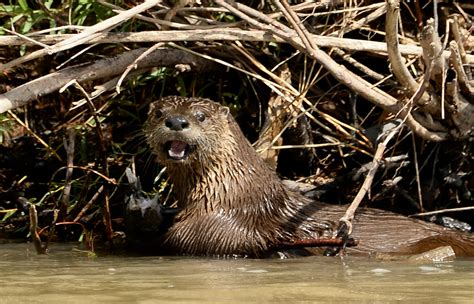 river otters  thriving   colorado showing