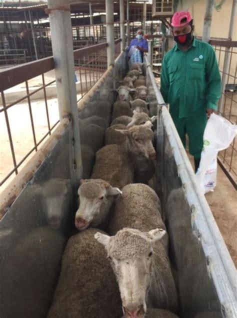 australian sheep banned  qatari abattoir video