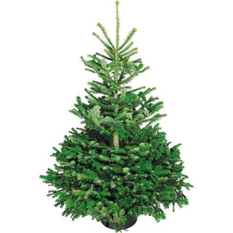 weihnachtsbaum echte nordmanntanne 125 150 cm hoch