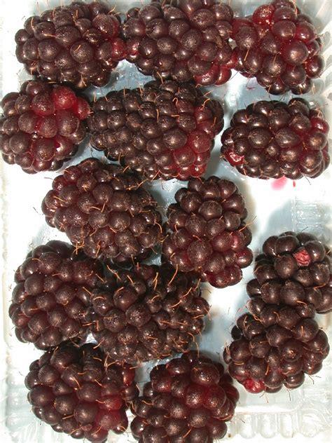 Garden Mapua by Oderings Garden Centre Fruit Tree Boysenberry Mapua 2 5l
