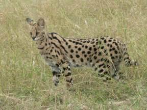 serval cat serval redorbit