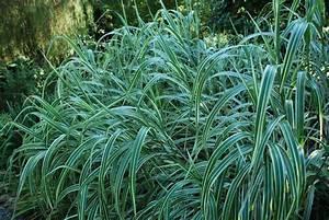 Miscanthus Sinensis Variegatus : miscanthus sinensis variegatus emerald plants ~ Eleganceandgraceweddings.com Haus und Dekorationen
