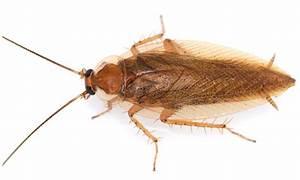 Kakerlaken ähnliche Insekten : vermeintlich europ ische kakerlaken stammen aus amerika ~ Articles-book.com Haus und Dekorationen