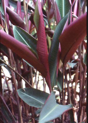 image  heliconia metallica heliconia paradise