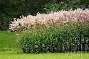 Miscanthus Sinensis Sorten : 27 best images about garden grasses on pinterest surface design world images and ferns ~ Michelbontemps.com Haus und Dekorationen