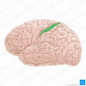 Cerebrum And Cerebral Cortex  Anatomy And Function