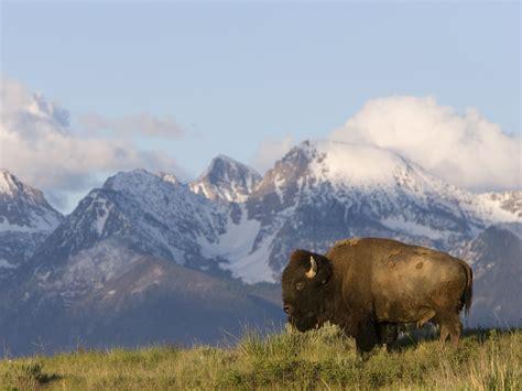 Animal Hd Wallpapers 1600x1200 - american nature animals bison montana 1600x1200 wallpaper