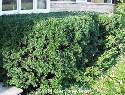 yew bush trees of wisconsin taxus cuspidata japanese yew
