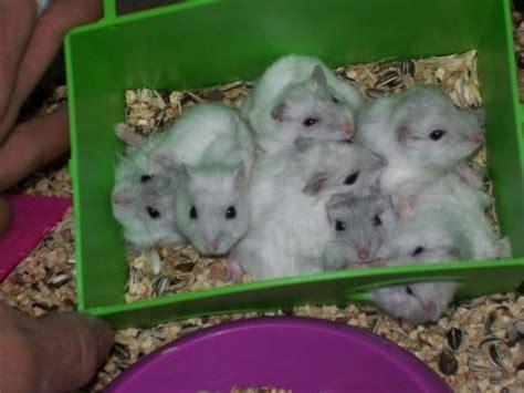 criceti russi alimentazione alimentazione criceti criceti cosa mangiano i criceti